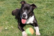 Black and white pitbull puppy on grass with tennis ball
